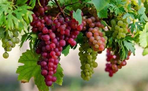 Menanam Anggur Dalam Pot